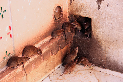 Ibis Projects/ Durban Pest Control Services | Rodents